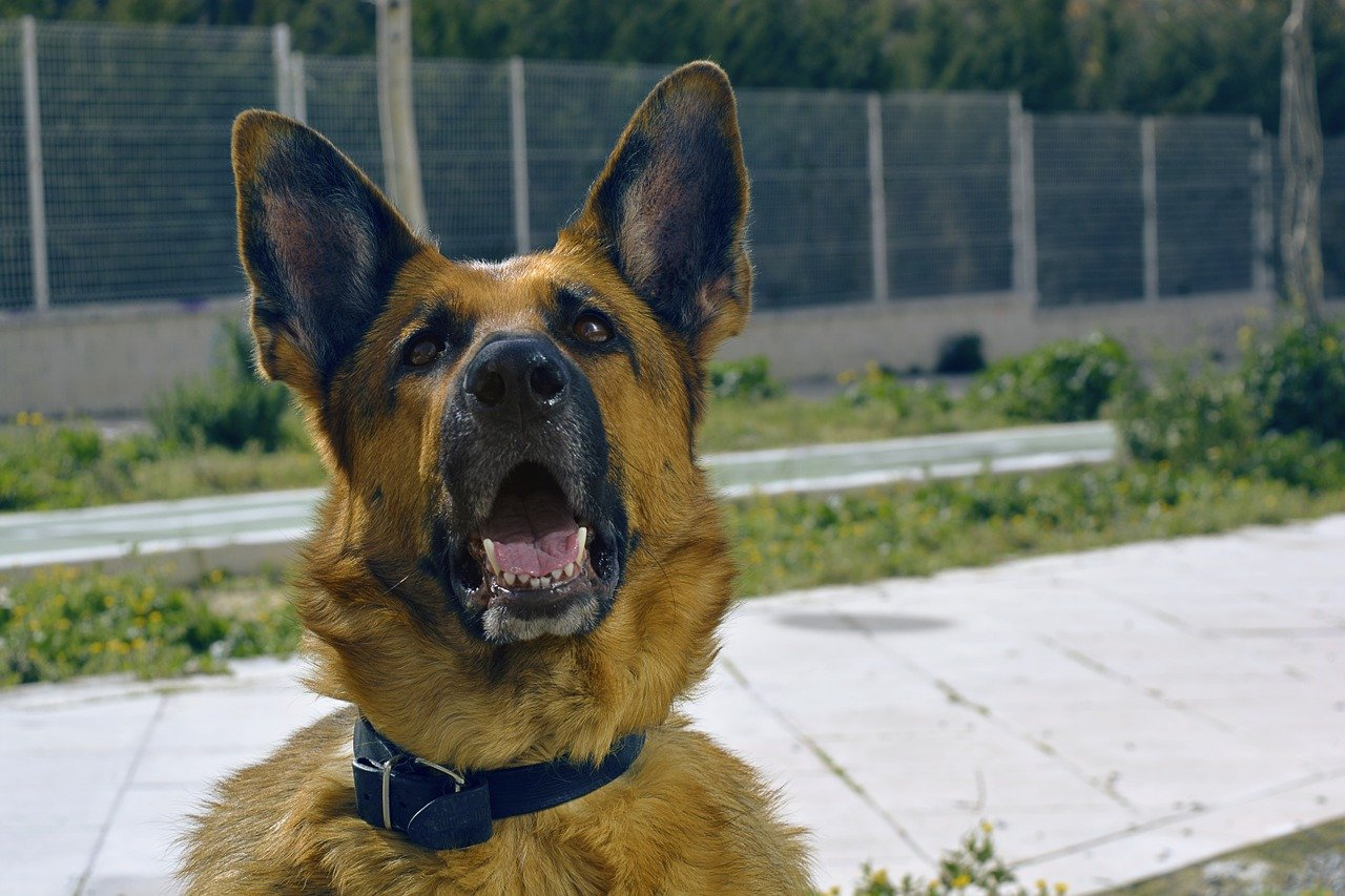German shepherd training tips