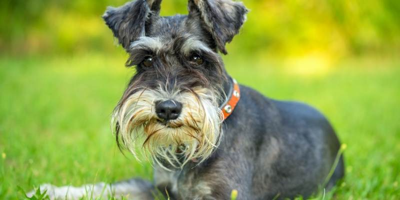smartest small hypoallergenic dog breed