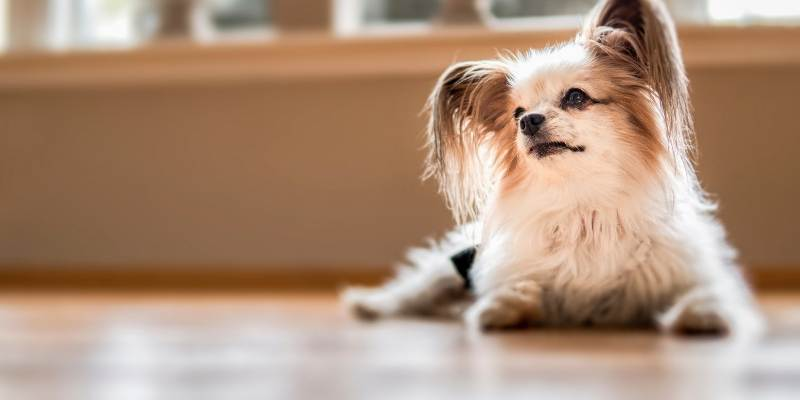 most intelligent small dogs Papillon