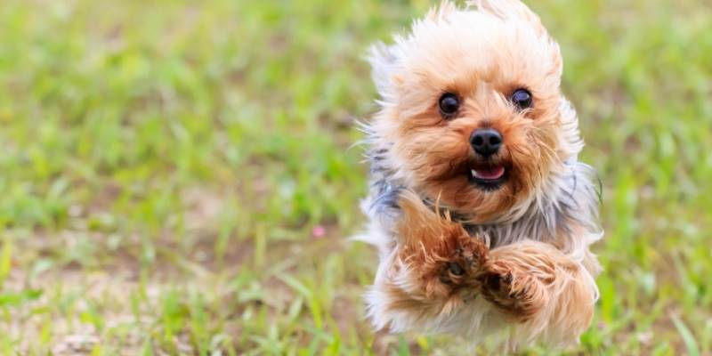 smart small dog breed A Yorkshire Terrier