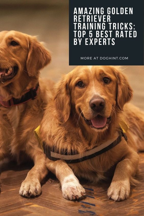Golden Retriever Tricks: Top 5 Rated by Experts